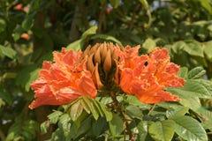 Árvore de tulipa de Africom, sino de fogo, árvore da fonte, flores e ervas Foto de Stock Royalty Free