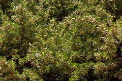 Árvore de um Linden Fotografia de Stock