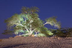 Árvore de vida em Barém Fotografia de Stock