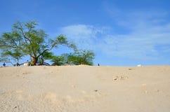 Árvore de vida no deserto Foto de Stock Royalty Free
