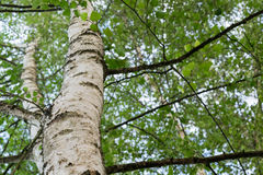 Árvore de vidoeiro Fotografia de Stock Royalty Free