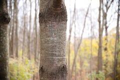 Árvore de vidoeiro Foto de Stock Royalty Free