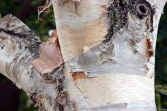 Árvore de vidoeiro branco fotografia de stock royalty free