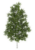 Árvore de vidoeiro branco européia isolada no branco Fotografia de Stock Royalty Free