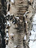 Árvore de vidoeiro branco no inverno Foto de Stock
