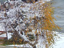 Árvore de vidoeiro com as folhas no inverno Imagem de Stock Royalty Free