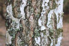 Árvore de vidoeiro com a casca de vidoeiro preto e branco imagens de stock