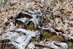 Árvore de vidoeiro de deterioração Foto de Stock