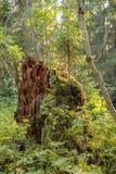 Árvore de vidoeiro no vento na paisagem da montanha do verão de polar com referência a Imagem de Stock Royalty Free