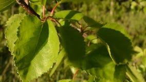A árvore de vidoeiro nova vibrante verde sae na luz do sol do verão filme