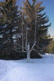 A árvore de vidoeiro - podia estar inoperante há muito tempo mas ainda vivo imagem de stock