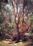 Árvore de vista coral Imagem de Stock Royalty Free