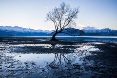 Árvore de Wanaka Foto de Stock