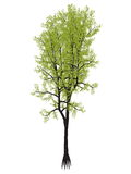 Árvore de yellowwood de Outeniqua, falcatus do podocarpus - 3D rendem Fotos de Stock Royalty Free