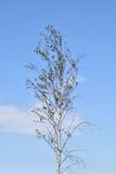 Árvore de Youngbirch Foto de Stock
