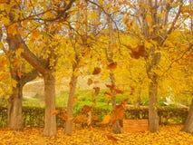 Árvore decíduo amarelada no outono imagens de stock