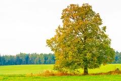 Árvore deciduous bonita em um campo imagem de stock