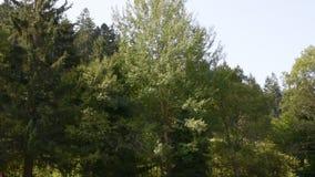 A árvore deixa a dança na floresta na Floresta Negra filme