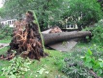 Árvore desarraigada de uma tempestade