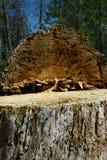 Árvore desbastada Imagens de Stock