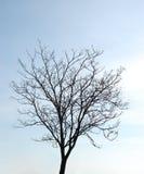 Árvore desencapada Fotografia de Stock