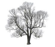 Árvore desencapada foto de stock