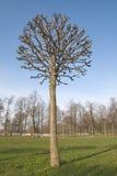 Árvore desencapada Fotografia de Stock Royalty Free