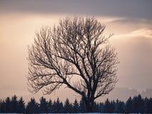 Árvore desencapada no crepúsculo fotografia de stock