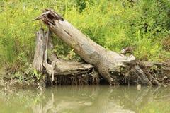 Árvore desmoronada Imagem de Stock Royalty Free