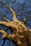 Árvore despida fotografia de stock