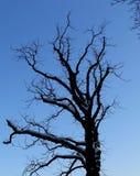 Árvore despida preta no azul foto de stock royalty free