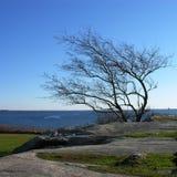 A árvore deu forma pelo vento. Imagens de Stock