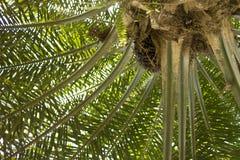 Árvore do óleo de palma Imagem de Stock Royalty Free