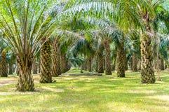 Árvore do óleo de palma Fotos de Stock