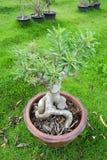 Árvore do Adenium do lírio de Impala Fotografia de Stock Royalty Free