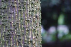 Árvore do algodão Fotografia de Stock Royalty Free