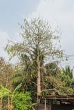 Árvore do algodão Fotos de Stock Royalty Free