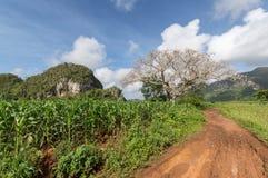 Árvore do algodão e campo de cigarro em Cuba Imagens de Stock