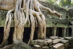 A árvore do algodão enraíza a ruína do templo da coberta Fotos de Stock