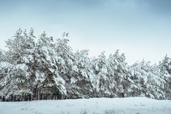 Árvore do ano novo na paisagem bonita do inverno da floresta do inverno com árvores cobertos de neve Árvores cobertas com o hoarf Fotografia de Stock Royalty Free