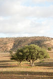 Árvore do argão Imagem de Stock