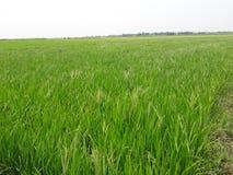 Árvore do arroz imagens de stock
