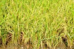 Árvore do arroz Foto de Stock Royalty Free