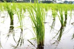 Árvore do arroz Imagem de Stock Royalty Free