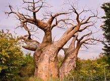 Árvore do Baobab Fotos de Stock