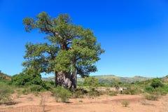 A árvore do Baobab com verde sae em uma paisagem africana com o espaço livre imagem de stock