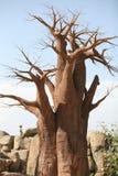 Árvore do Baobab em Biopark fotografia de stock