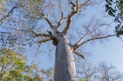 Árvore do Baobab em Madagáscar Fotos de Stock