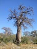 Árvore do Baobab na ilha de Kubu Fotografia de Stock Royalty Free