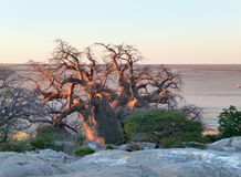 Árvore do Baobab na ilha de Kubu Imagens de Stock Royalty Free